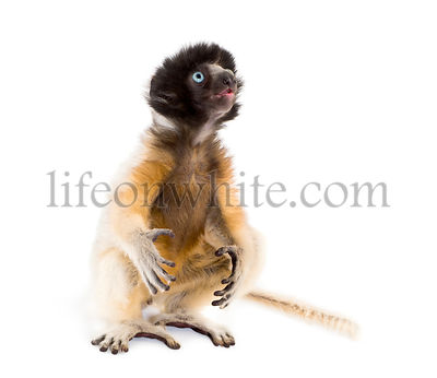 Soa, 4 months old, Crowned Sifaka sitting against white background