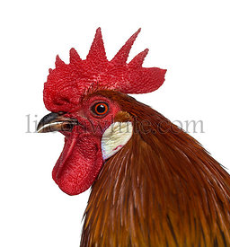 close-up of a Belgian rooster isolated on white