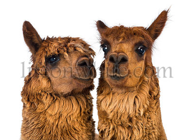 Close-up of two Alpacas, one is looking away and one is looking at camera against white background