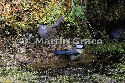 Male Eurasian Blackcap (Sylvia atricapilla) waits its turn while a Blue Tit (Cyanistes caeruleus) finishes bathing in the gar...