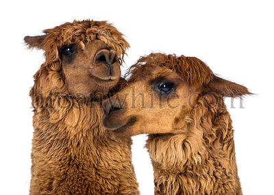 Close-up of Alpacas against white background