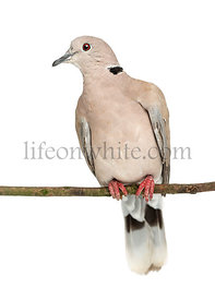 Eurasian Collared Dove perched on branch, Streptopelia decaocto, often called the Collared Dove against white background