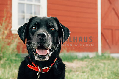 Happy dog sitting in front of a red barn