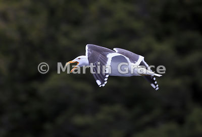 Southern Black-Backed Gull (Larus dominicanus dominicanus) vocalises in flight, Doubtful Sound, Fiordland National Park, Sout...