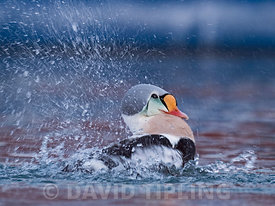 King Eider,  Somateria spectabilis male, bathing, Varanger Fjord, Arctic Norway, winter