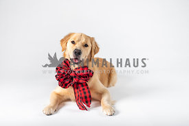 smiling golden retriever wearing black & red checked bow collar