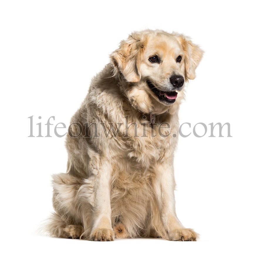 Labrador Retriever sitting against white background