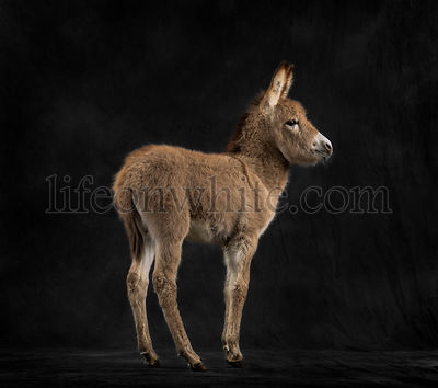 Rear view of a provence donkey foal against black background