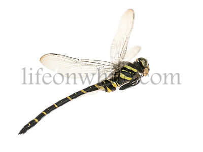 Side view of a flying Cordulegaster bidentata, isolated on white