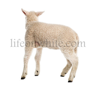 Lamb (8 weeks old) isolated on white