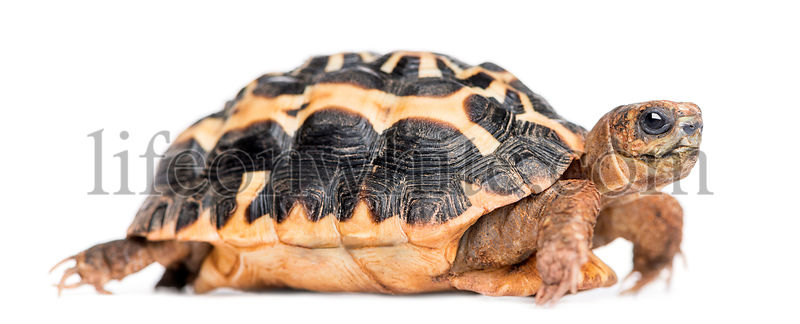 Side view of a Spider Tortoise, Pyxis arachnoides, isolated on white