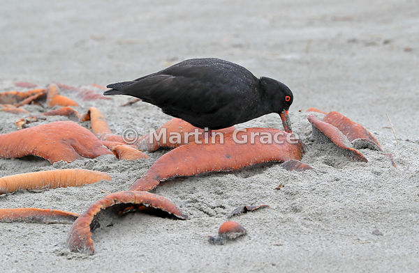 Dark morph Variable Oystercatcher (Black Oystercatcher) (Haematopus unicolor) foraging for food amongst kelp, Papanui Bay, Ot...