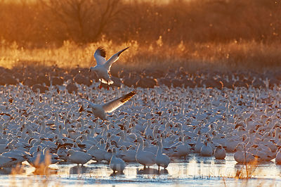 Snow Geese, Chen caerulescens, Bosque del Apache, New Mexico, USA
