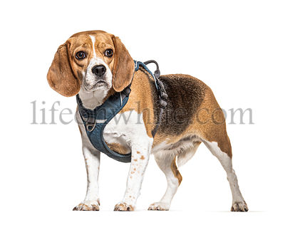 Beagle with a harness, isolated on white