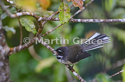 South Island subspecies of New Zealand Fantail (Rhipidura fuliginosa ssp fuliginosa) clearly showing the insectivore's rictal...