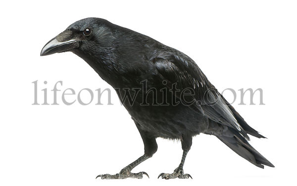 Carrion Crow with inquisitive look, Corvus corone, isolated on white