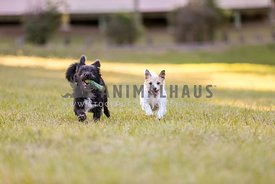 Two dogs running in a park with a toy