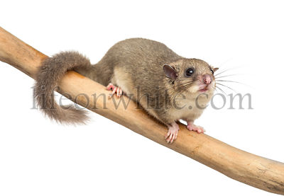 Edible dormouse on a branch in front of a white background