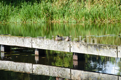 Two ducks rest next to the canal.