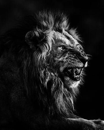 Lion_Smile_or_die_Kenya_2019_Laurent_Baheux