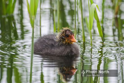 COOT 03A - Coot chick