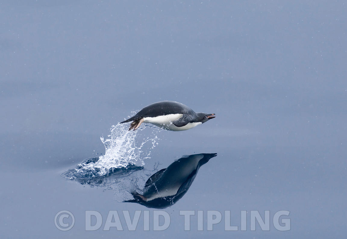 Adelie Penguin Pygoscelis adeliae porpoising off Brown Bluff Antarctic Peninsula