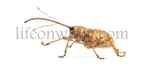 Side view of an Acorn weevil walking, Curculio glandium, isolated on white