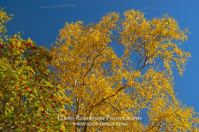 Image - Autumn leaves colour - Silver Birch and Rowan tree.  Torridon, Wester Ross, Scotland