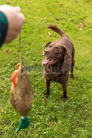 A chocolate lab learning to  hunt