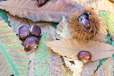 Castanea sativa-Chestnuts on leaves-France, autumn