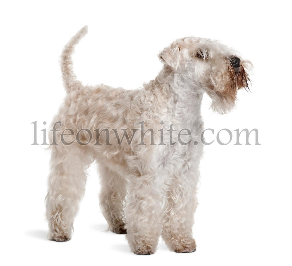 Soft-Coated Wheaten Terrier, 3 years old, standing in front of white background