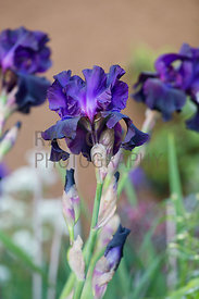 Bearded Iris 'Superstition'
