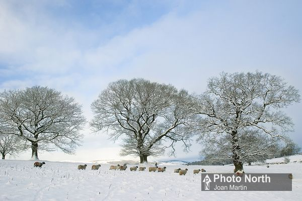 CASTERTON 32A - Sheep in the snow