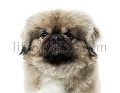Close-up of a pekingese, isolated on white