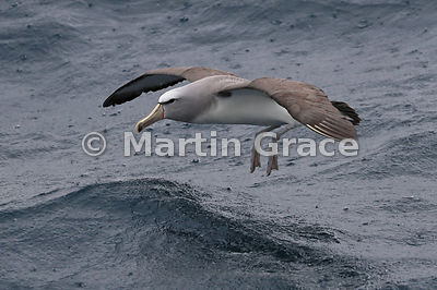 Salvin's Mollymawk (Salvin's Albatross) (Thalassarche salvini) about to land on the sea in heavy rain, Kaikoura, Canterbury, ...