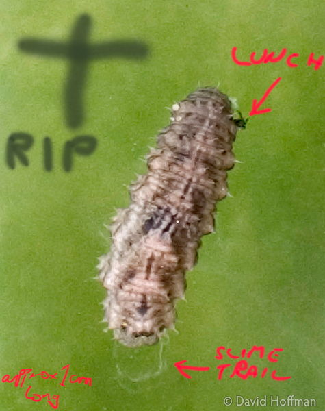 Absent Friend insect larva on bean plant eats black aphids
