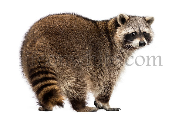 Rear view of a Racoon, Procyon Iotor, standing, isolated on white