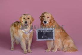 pregnant golden retriever with male golden holding due date sign in mouth