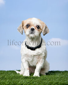 Mixed-Breed Dog between a shih-tsu and a pekingese