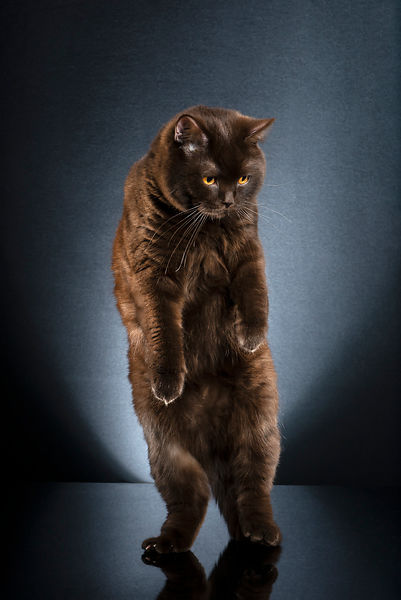 STANDING CATS - BRUTUS