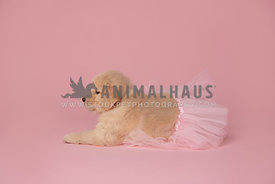 golden retriever puppy in pink tutu laying down with pink backdrop
