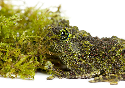 Mossy Frog next to Moss, Theloderma corticale, also known as a Vietnamese Mossy Frog, or Tonkin Bug-eyed Frog, close up again...