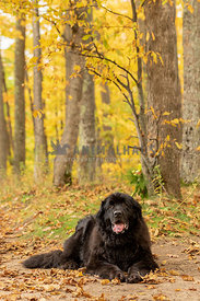 A happy Newfoundland on fall path