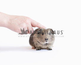 Cute gray guinea pig poses in the studio isolated on white with room for text