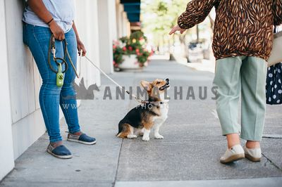 Corgi sits to greet person walking by on the sidewalk