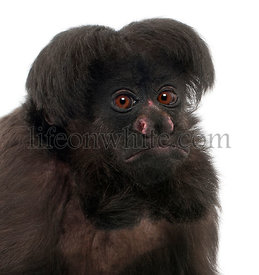 Close-up of Black Bearded Saki, Chiropotes satanas, 6 years old, in front of white background