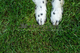 Speckled dog paws on grass background
