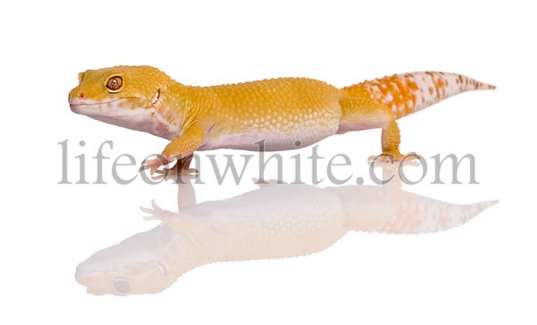 Leopard gecko, Eublepharis macularius, walking in front of white background