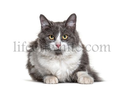 Kitten Crossbreed cat white and grey lloking at the camera