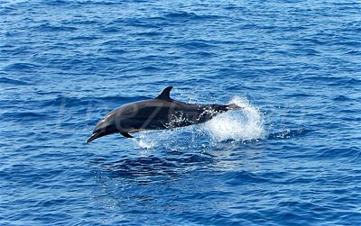 Atlantic spotted dolphin Saint-Lucia